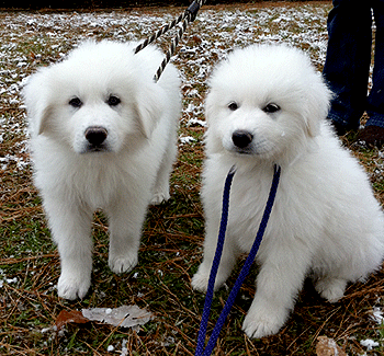 Remy LeBeau & Sonya - Our New Pyr Puppies